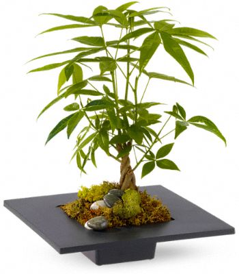 Money Bonsai Tree